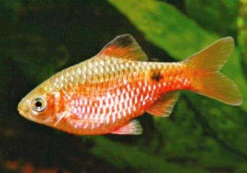 Барбус золотой вуалевый (puntius conchonius gold)